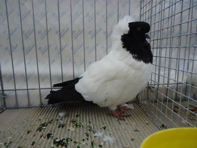 tumbler nun pigeons