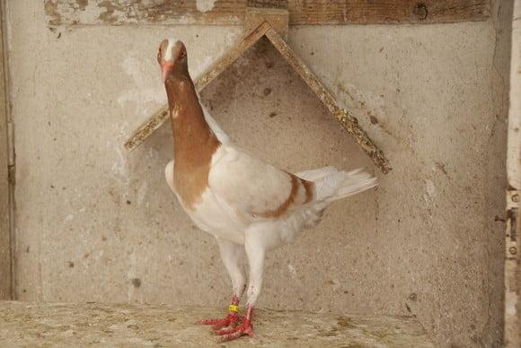 Poule Hongrois