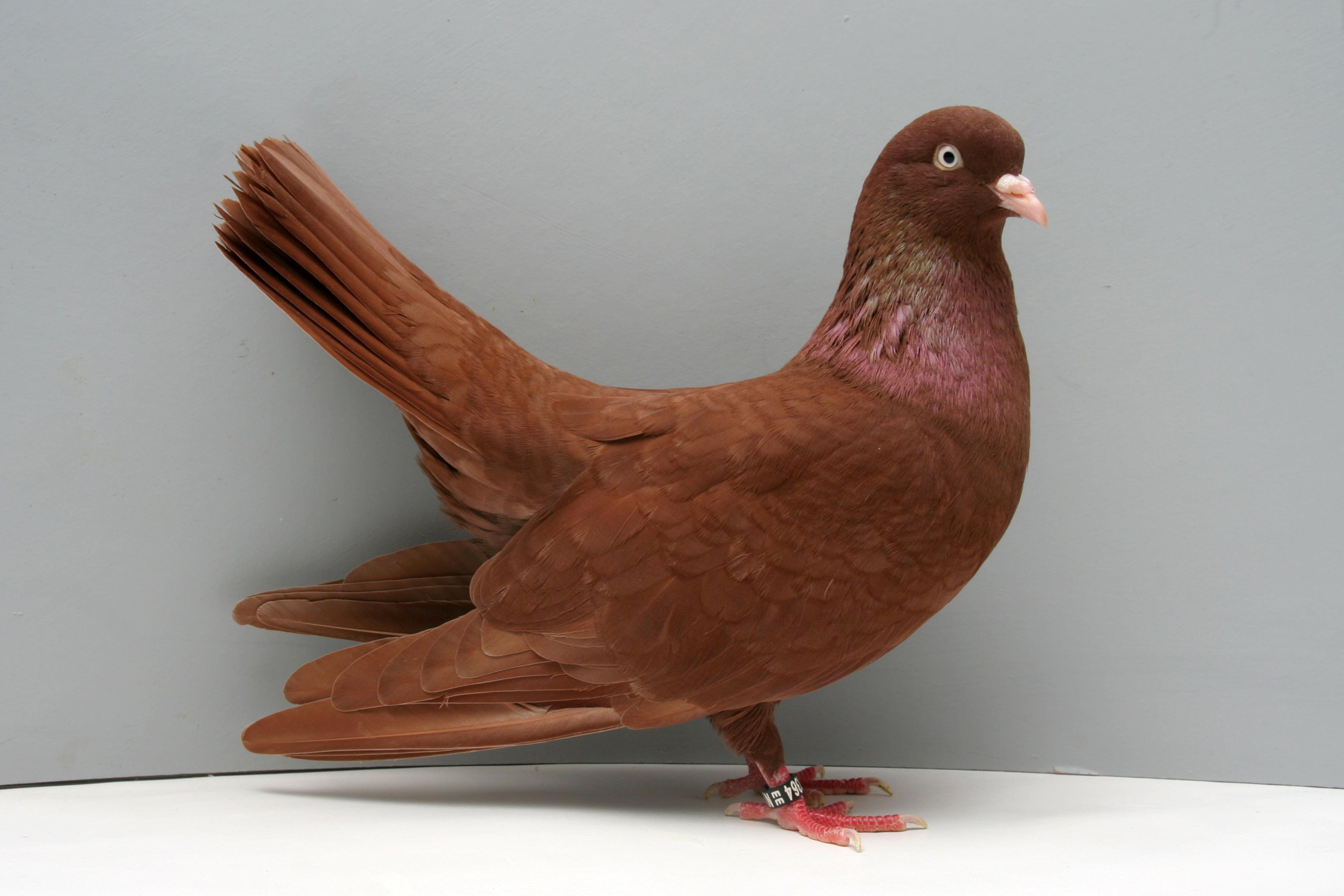 Rouleur -pigeons