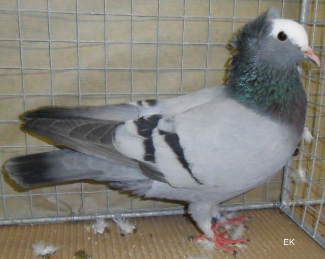 colour pigeons
