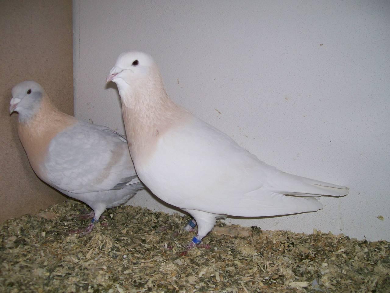 dewlap pigeons