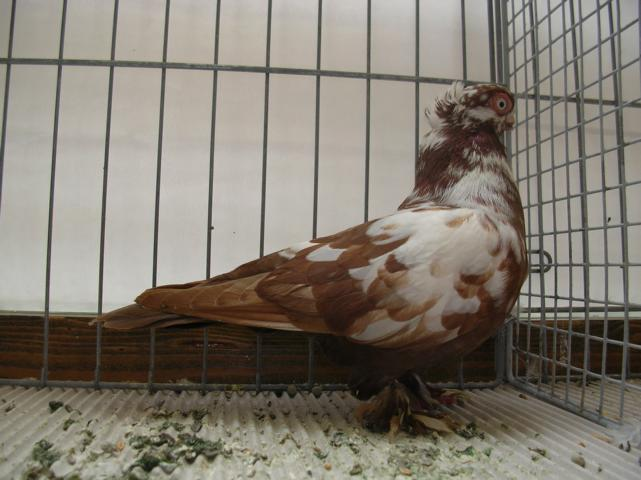 ancient rumbler pigeons