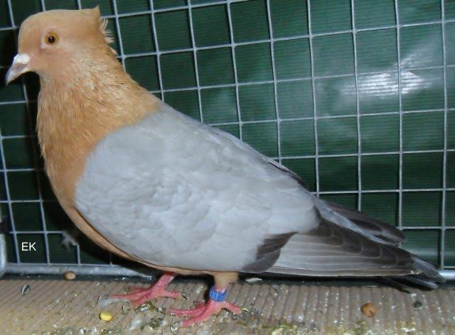 colour pigeons - gimpeltaube