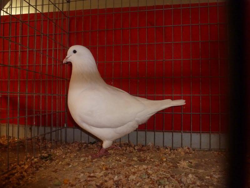 Pigeon de Mittelhausen
