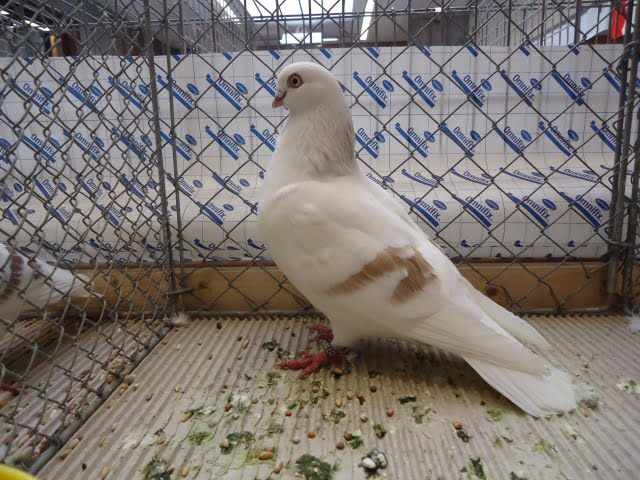 german tumbler pigeons