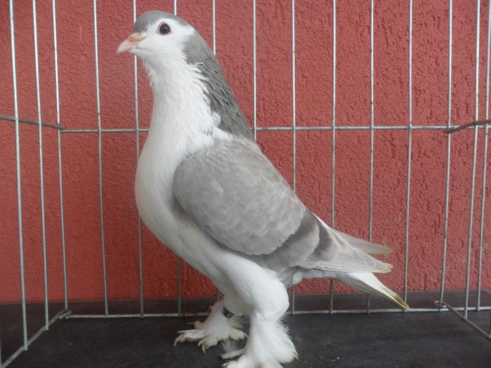 siraj - pigeons - kabootar