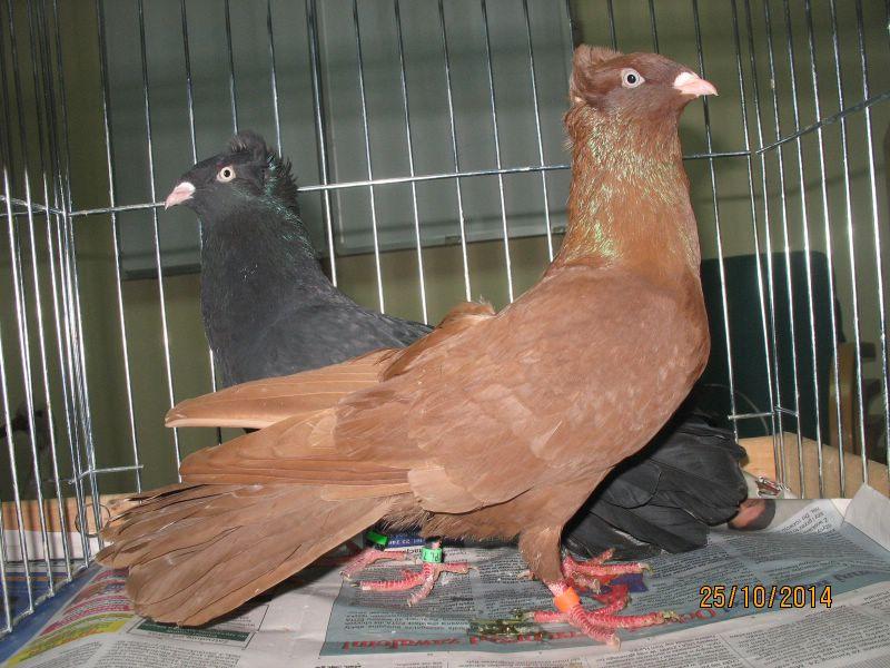 red pigeons - black pigeons kabootar