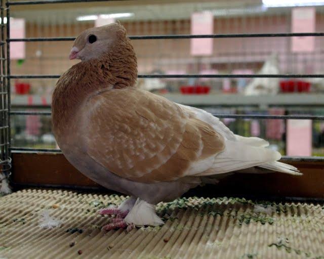 swiss pigeons