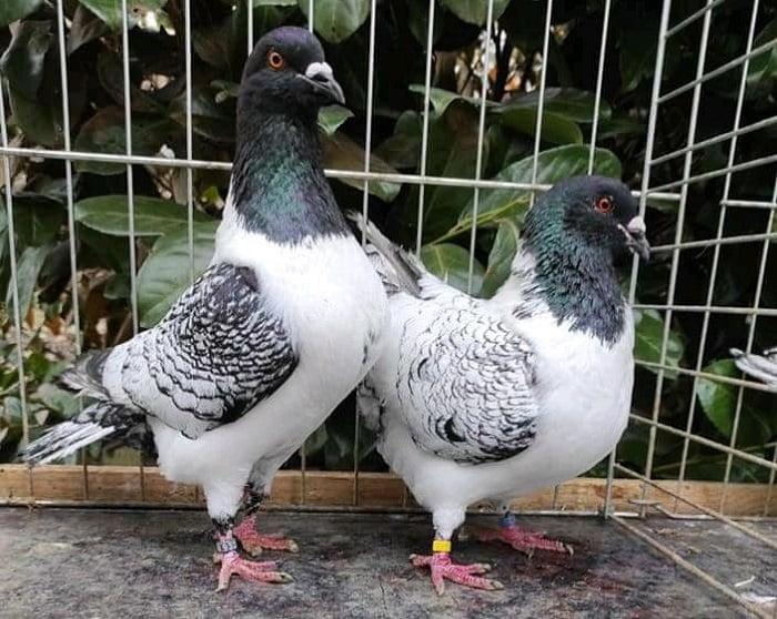 Moravsky Pstros - moravian strasser - czech pigeons