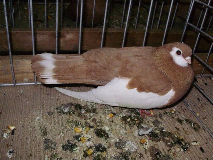Culbutant-pigeons-yellow