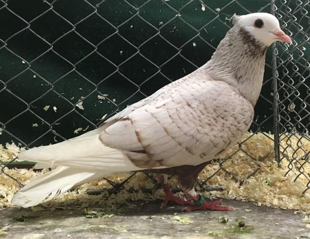 german pigeon breeds - starling