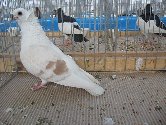 Cravaté Pigeons