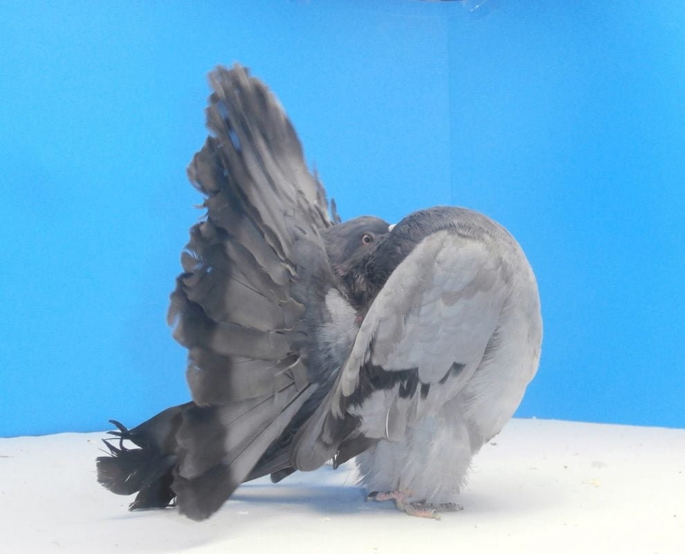 fantail - american fantail pigeons