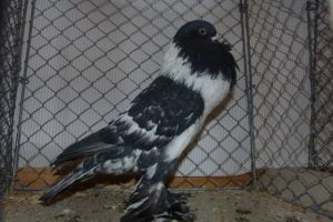 cropper - pouter - pigeons