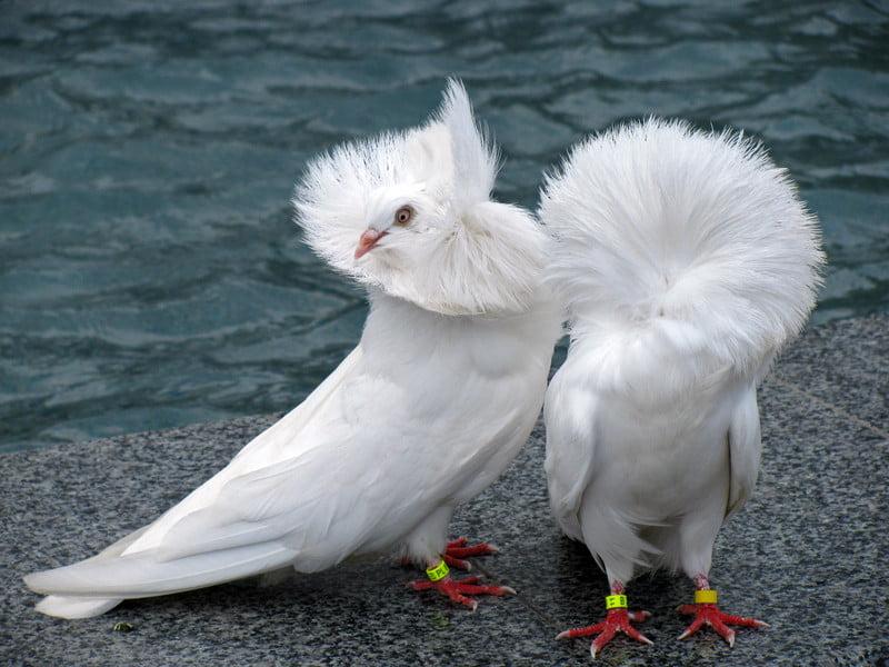white pigeons - jacobin