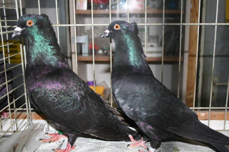 german colour pigeons