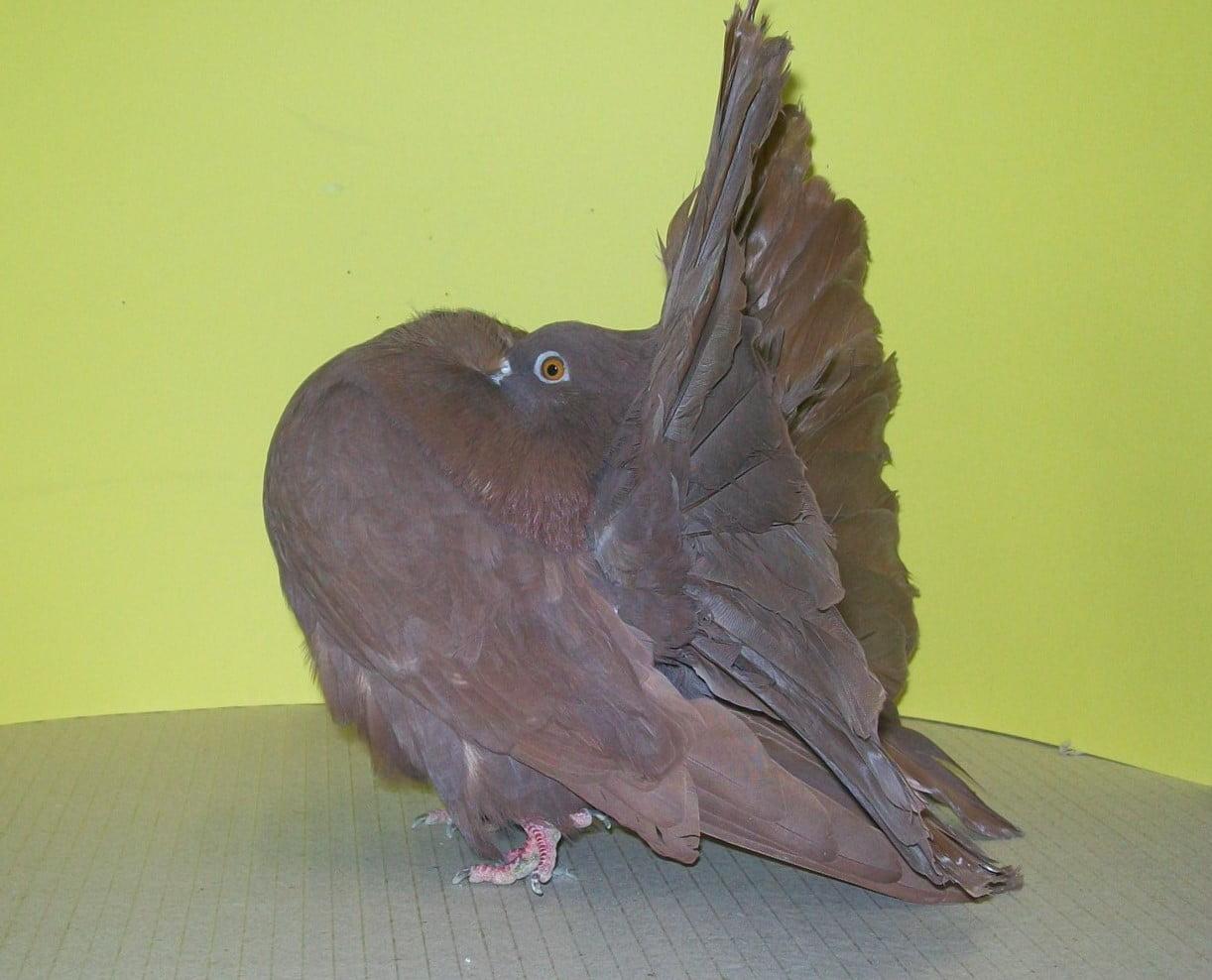 Pfautaube - rasse tauben