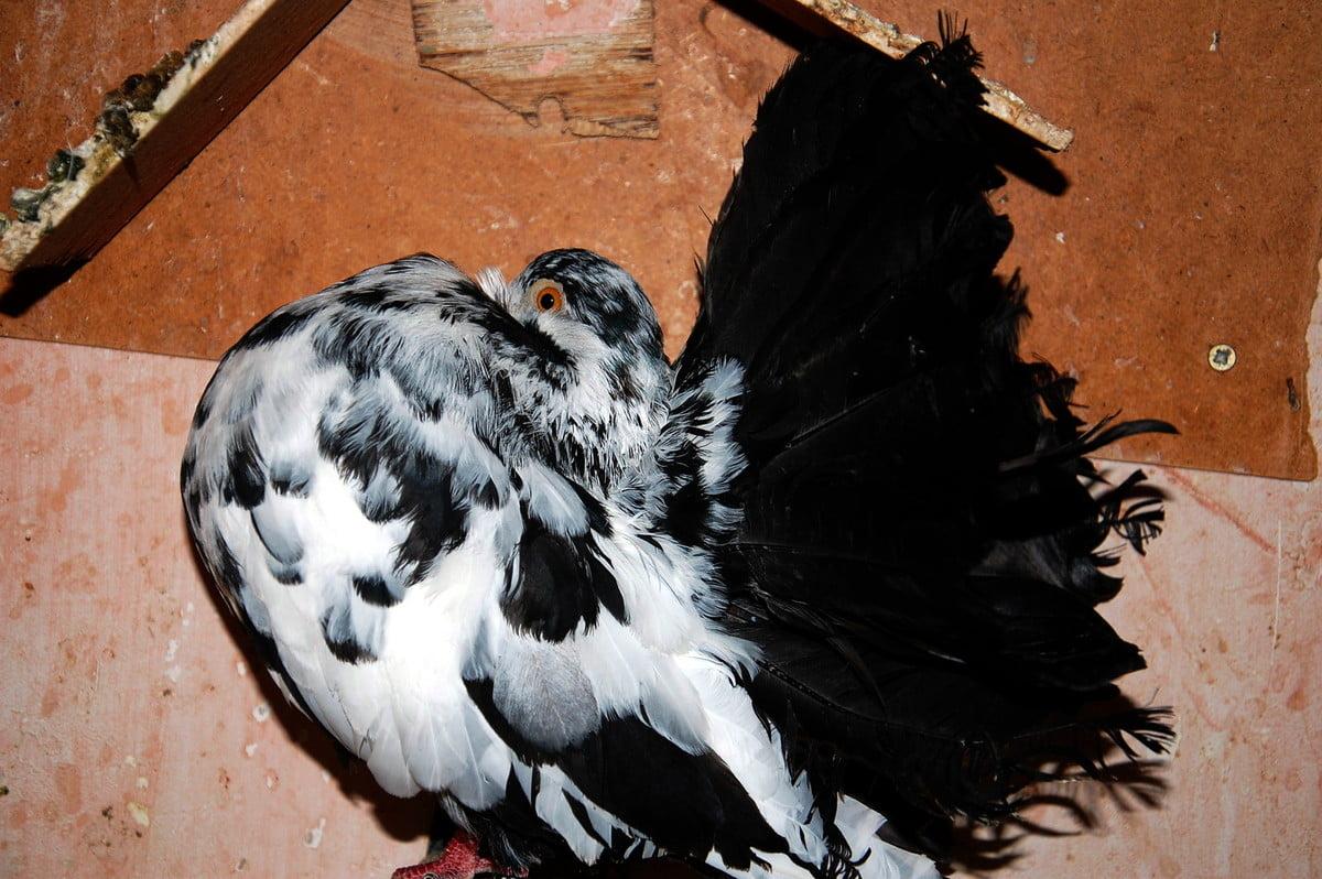 Queue de Paon - pigeons