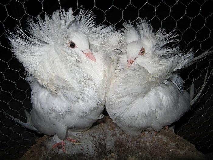 jacobin pigeons