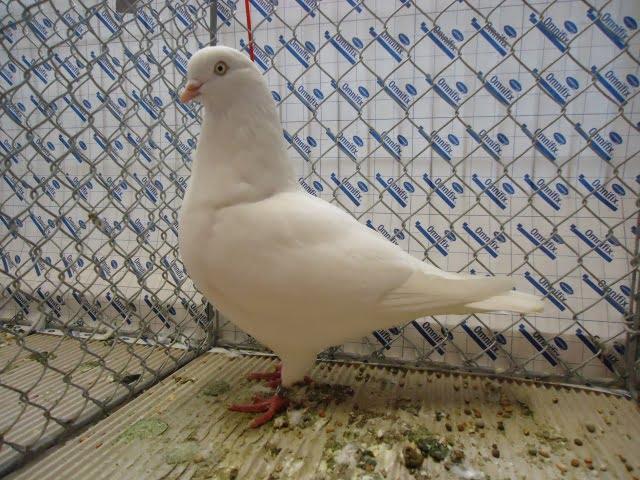 Cologne Tumbler - tumbler pigeons -