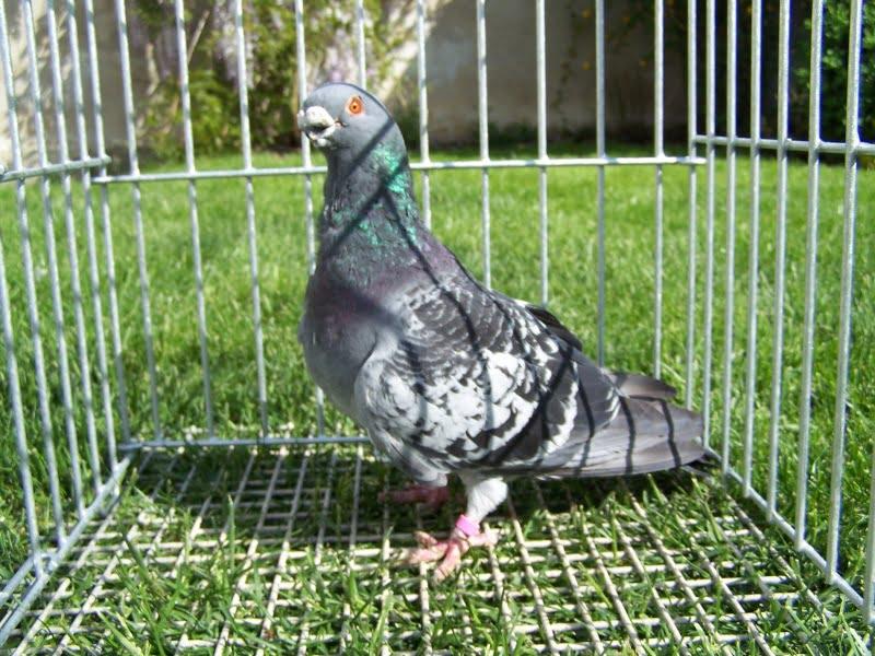 pigeons de Cravaté