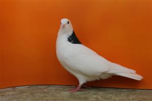 Griwuni Tumbler pigeons