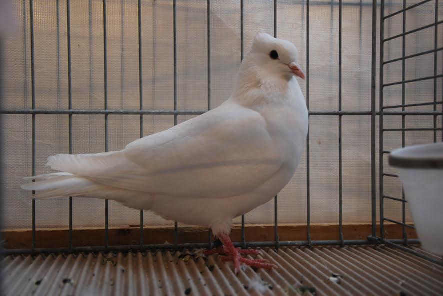 Pigeon Suisse