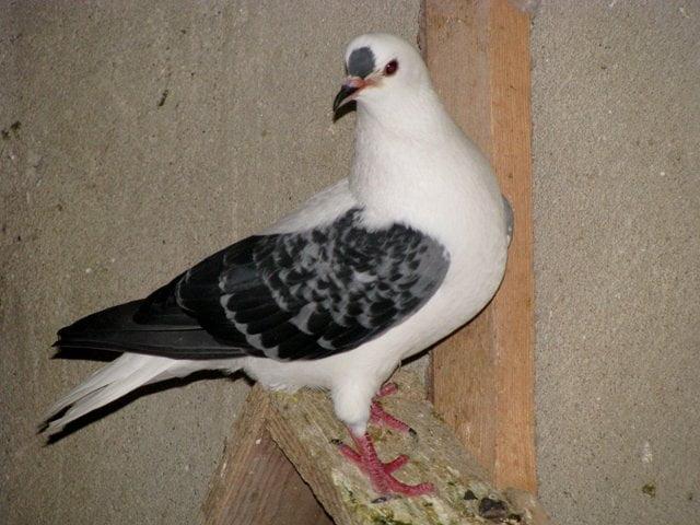 Pigeon à ailes colorées de Boheme