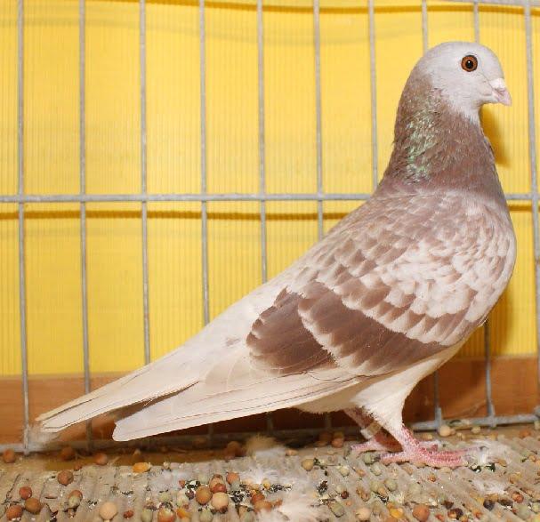 swiaa pigeons - colour pigeons