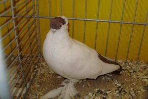 Tumbler pigeons - białostocka