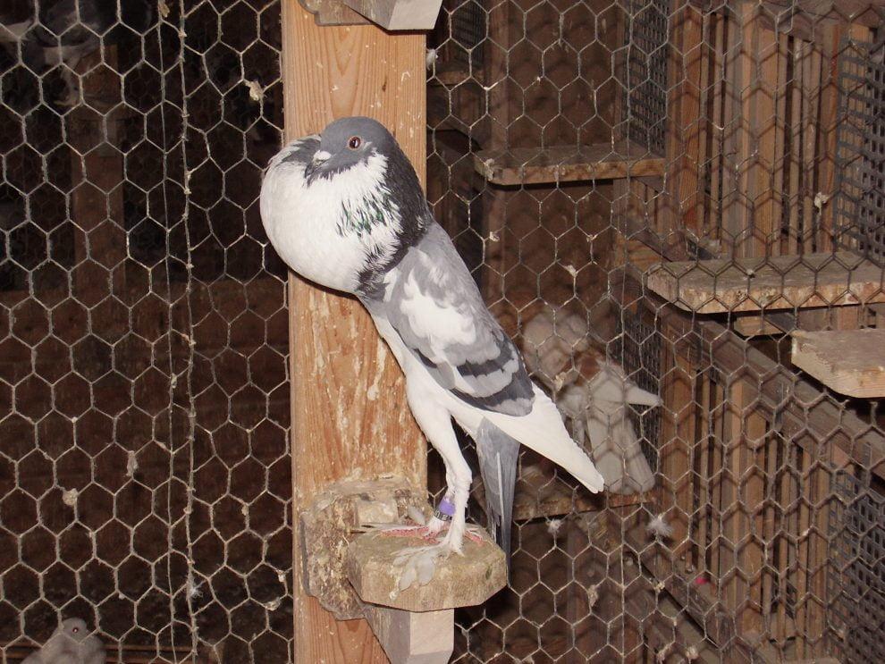 pigeons - Boulant