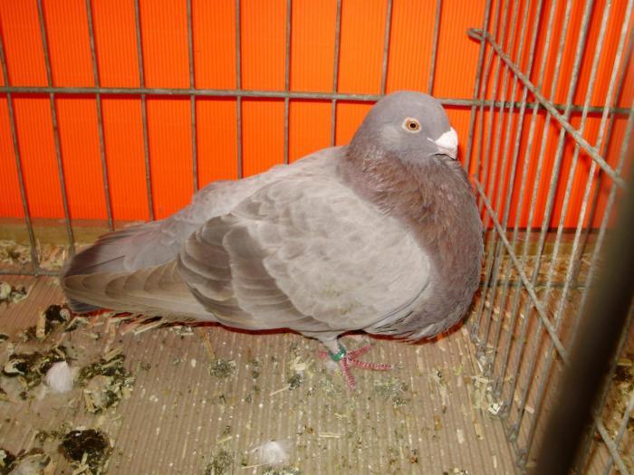 Pouter-pigeons