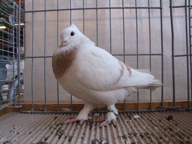 pigeons - swiss - colour
