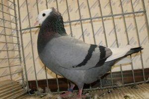 Ringbeater - pigeons - ringschläger