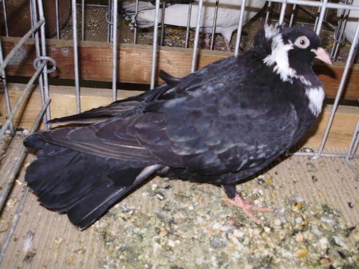 Rouleur pigeons