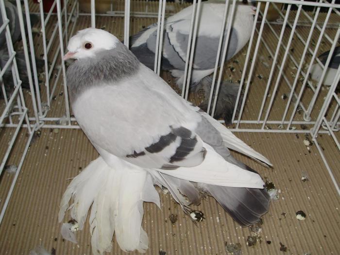 Tambour- pigeons