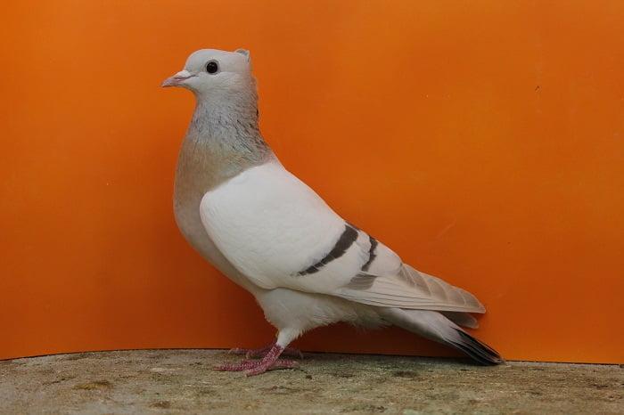 pigeons couleur
