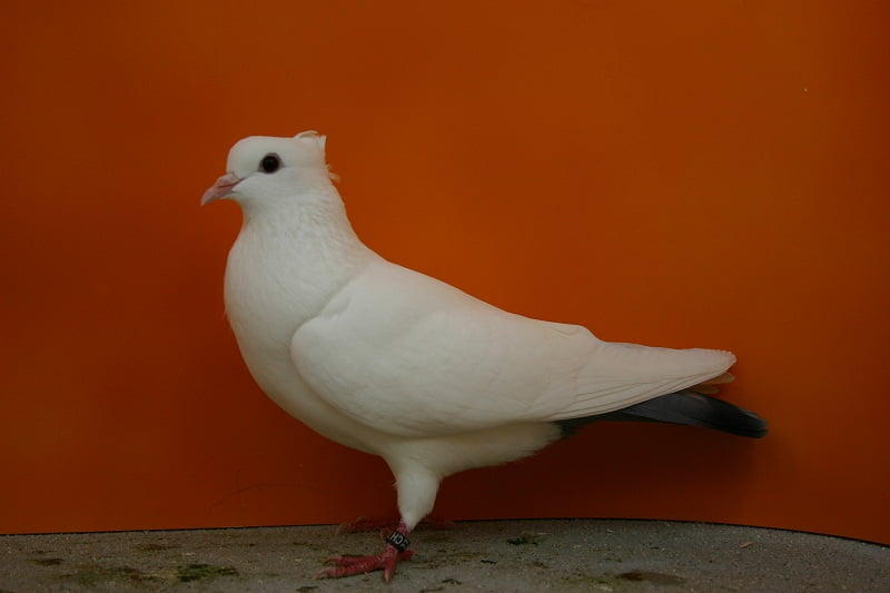 Wiggertal Colour pigeons