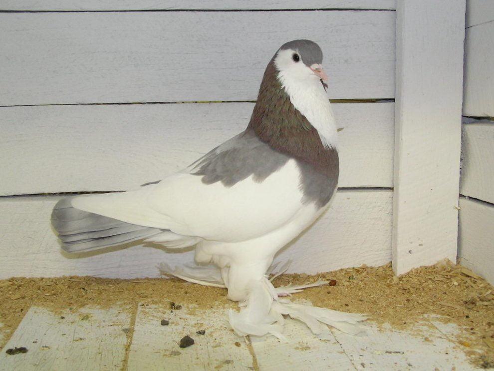 tumbler pigeons - muffed tumbler