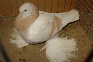 tumbler-muffed pigeons