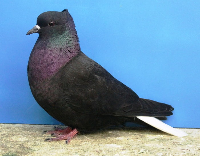 queue blanche - berne colour pigeons - flying birds