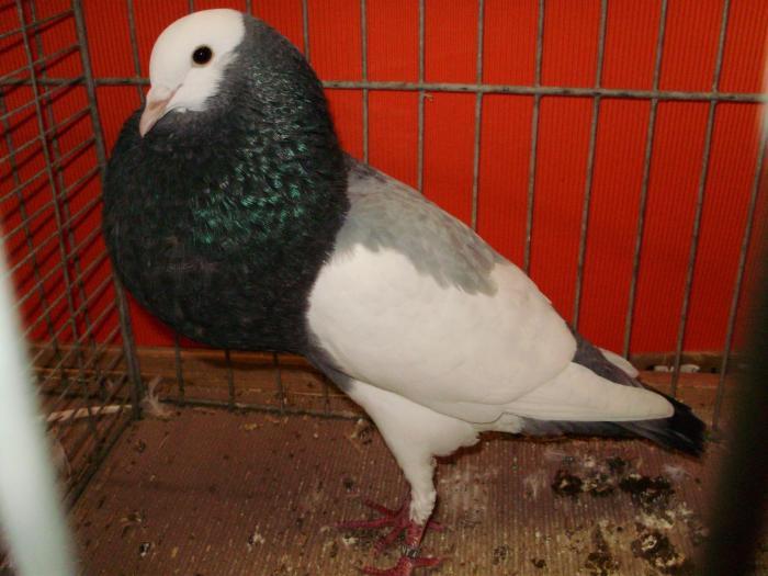 pigeons-Boulant