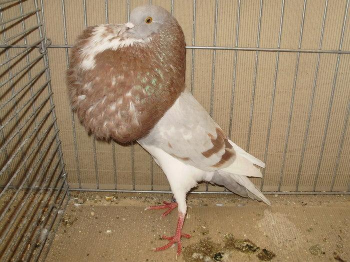 pigeons de boulant