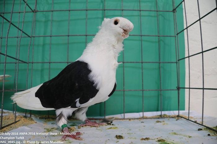 pigeons cravate - turbit
