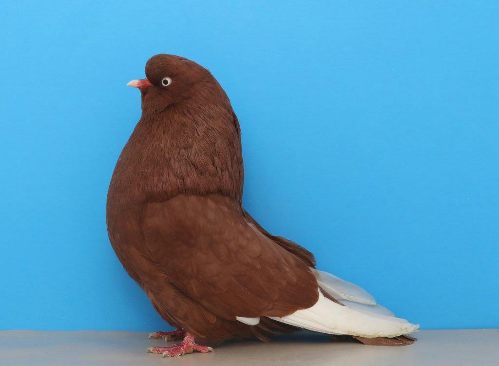 american pigeons - tumbler