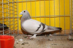 swiss colour pigeons