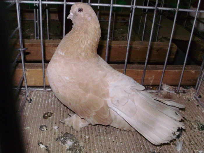 tumbler pigeons - russian