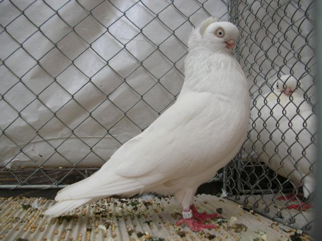 white tumbler pigeons