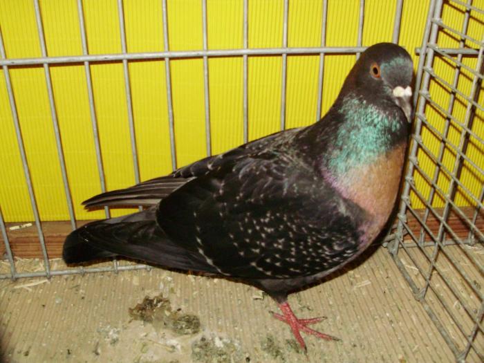 colour - pigeons - s.german