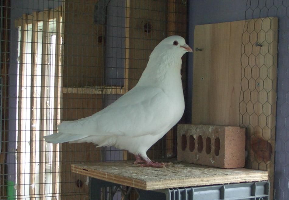 pigeons suisse
